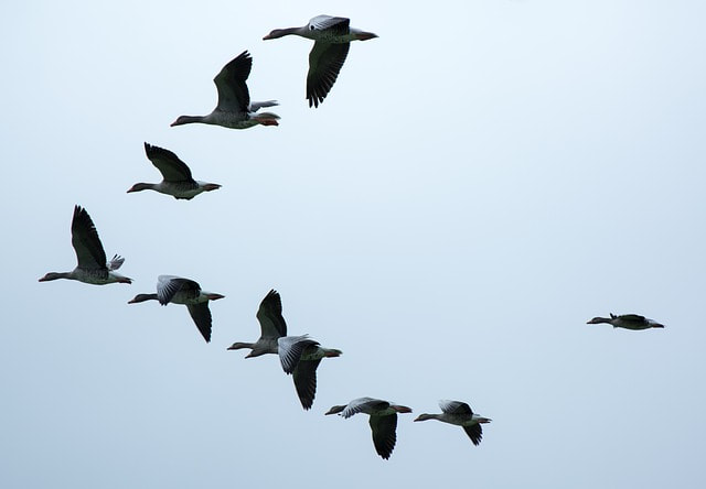 A flock of wild geese