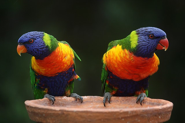 A parrot listening and then talking