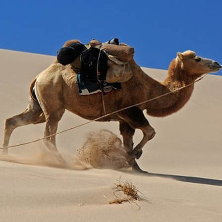 A large camel crossing the desert